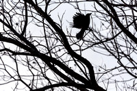 Raven in a tree in December